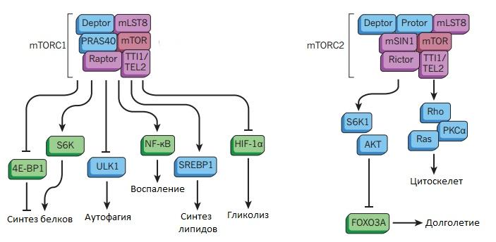 Рисунок 3. Схема комплексов mTORC1 и mTORC2 и их функции в клетке. Источник: [52], рисунок адаптирован.