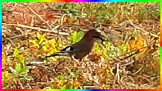 Сойка собирает жёлуди Птицы осенью Видеозарисовки🍂🐦