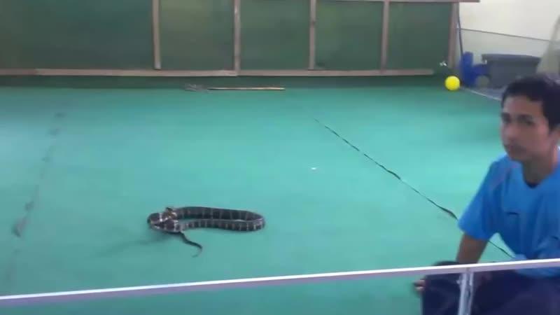 Укус змеи на 'Шоу кобры' в Тайланде