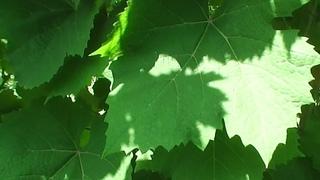 Ранние сорта винограда, июль 2021 год!