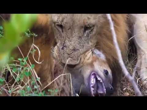 Борьба за выживание Леопард против льва Леопард нападает на льва загнанный в угол